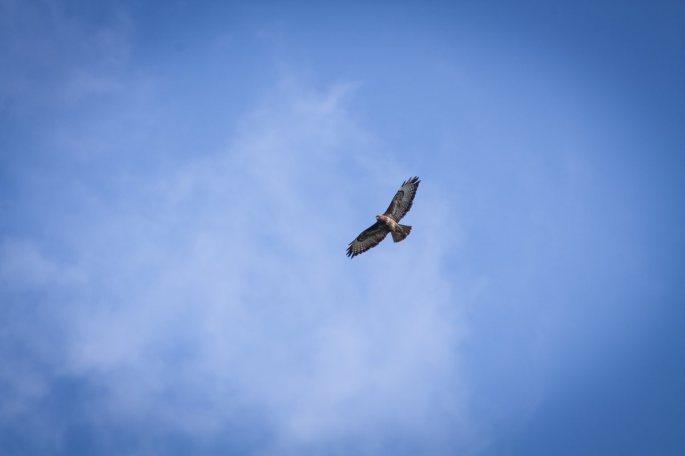 hen_harrier_bird_sky_skies_nature_animals_fly_predator-752017 (1)